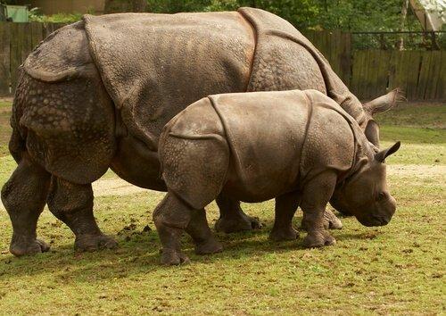 Mamma e cucciolo di rinoceronte di Giava