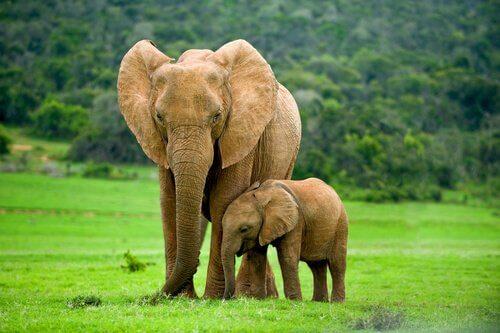 mamma e figlio di elefante al pascolo