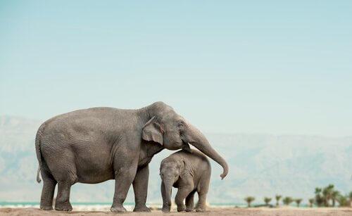 Come sopravvivono gli elefanti orfani?