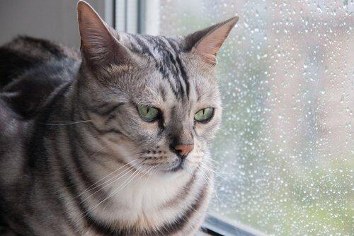 Micio guarda fuori finestra durante pioggia