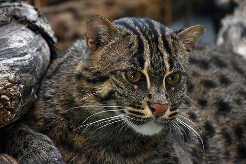 muso e testa di un Gatto pescatore adulto
