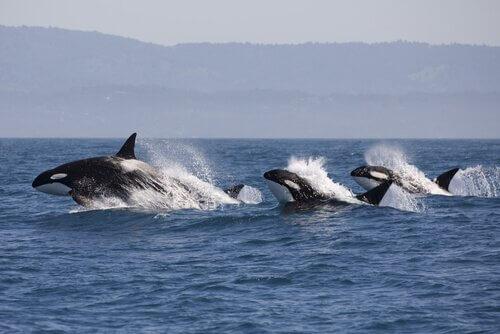 Ecco come i delfini sanno quando le orche cacciano