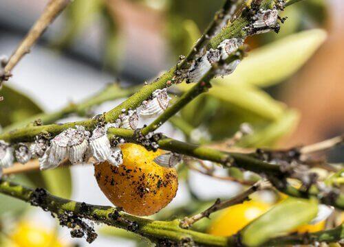 Parassiti su una pianta di cachi gialli