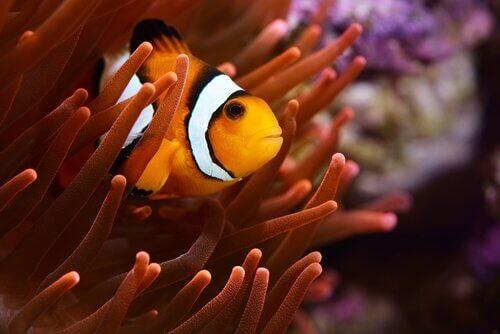Pesce pagliaccio si nasconde in un'anemone di mare