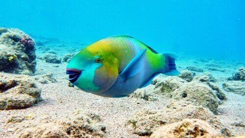 pesce pappagallo in mare