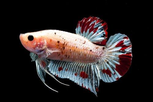 Pesce colorato