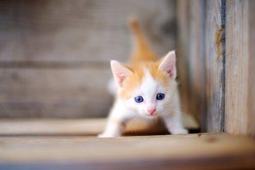 Gattino bianco e rosso