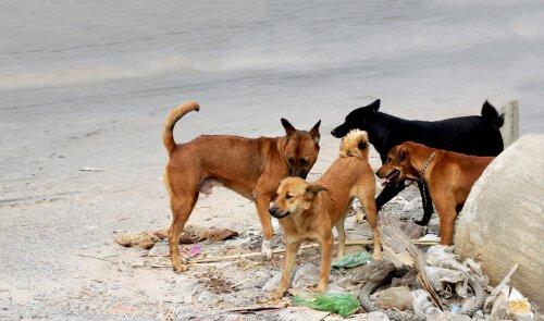 Cani randagi vicino alla spazzatura