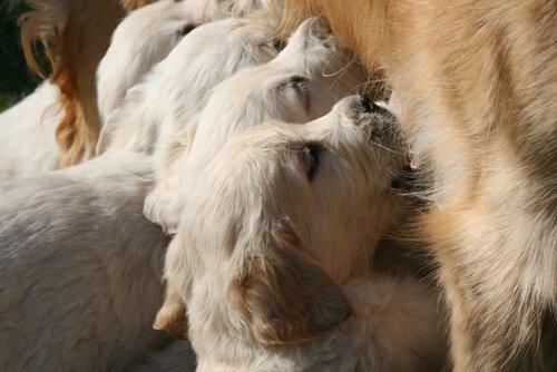 Cuccioli allattati da una cagna