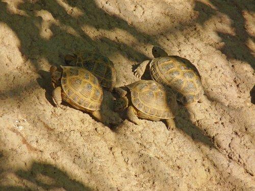 Si possono tenere più tartarughe di Horsfield?