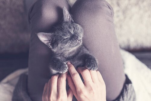 ragazza massaggia pancino di gatto disteso