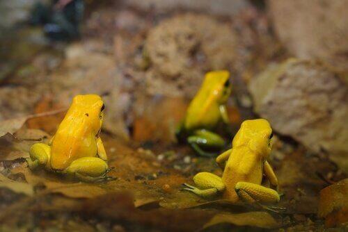 Tre esemplari di rana dorata