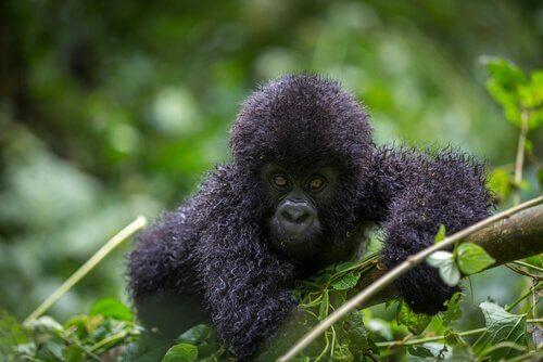 Cucciolo di gorilla di montagna