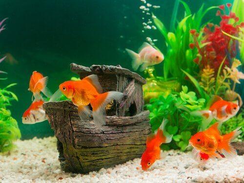 sette pesci rossi in un acquario domestico nuotano