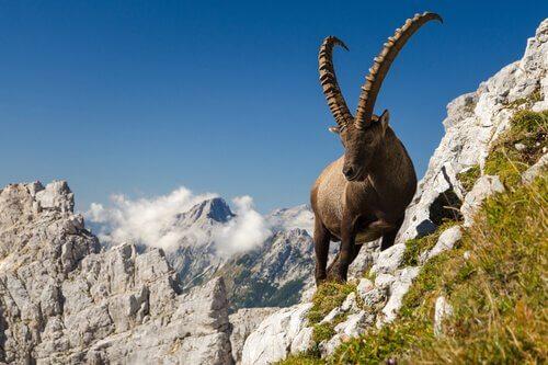 Stambecco delle Alpi su montagna