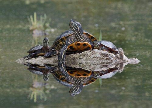 Tartarughe in acqua
