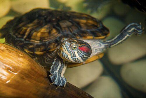 I pericoli di tenere una tartaruga acquatica in casa