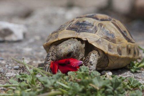 Tartaruga mangia fiore