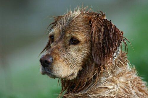 Si può evitare l'odore di cane bagnato?