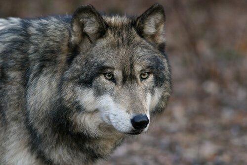 7 caratteristiche del lupo grigio imperdibili