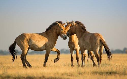 Tre esemplari di cavallo di Przewalski pascolano nel Gobi