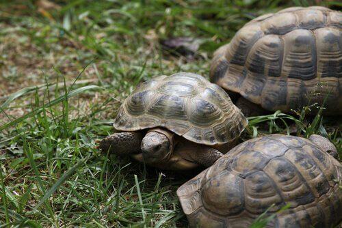 tre esemplari di tartarughe di Horsfield su un prato