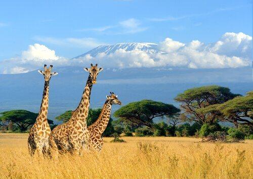 Giraffe nell'erba alta della savana