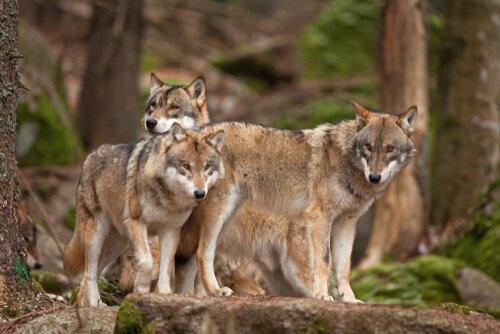 Lupi grigi nella foresta