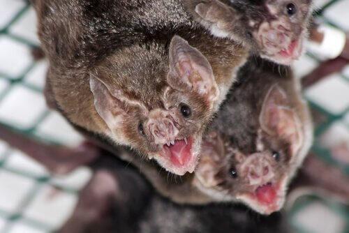 Pipistrelli vampiri