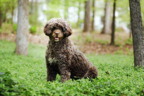 Cão de água português marrone in un bosco