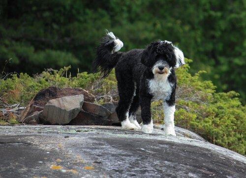 Cao de agua portugues: il cane marinaio