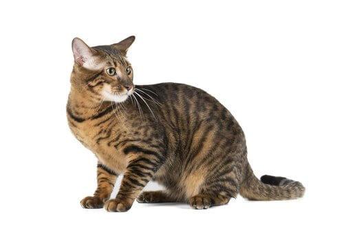 Gatto Toyger, una tigre in miniatura