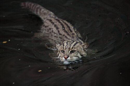 Gatto pescatore, un felino in pericolo di estinzione