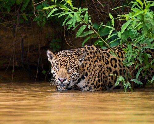 Giaguaro prepara un'imboscata tra fronde e acqua