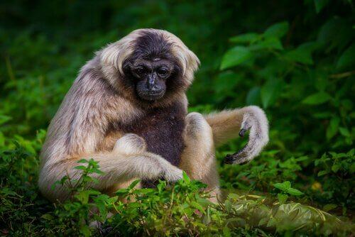 Gibbone dal berretto mangia delle foglie
