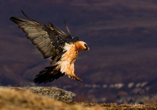 un Gipeto comune con le ali aperte