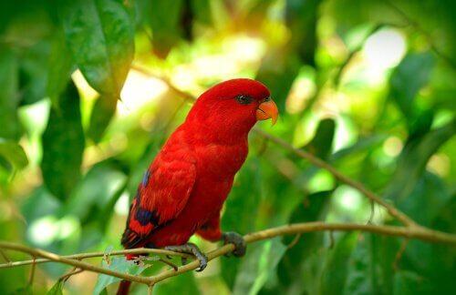 Lori rosso su un ramo