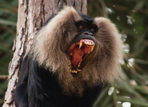 Sileno urla con la bocca aperta tra i rami