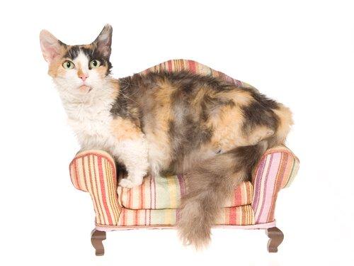 Skookum, un piccolo gatto pieno di riccioli