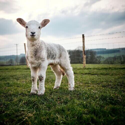 Coccidiosi in agnelli e vitelli: cause, sintomi e trattamento