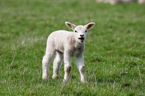 un agnello bela sul prato
