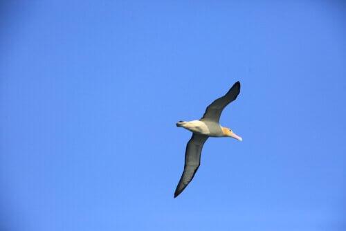 un albatro vola nel cielo azzurro