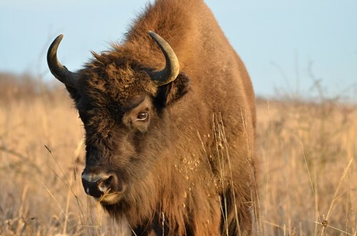 Differenze tra bisonti, gnu e bufali