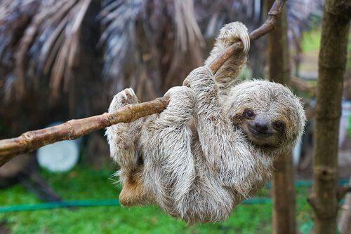 Bradipo appeso a una corda legnosa