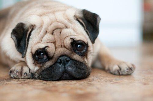 Cani con le rughe: 4 cure indispensabili