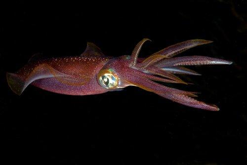 un calamaro che nuota