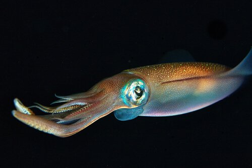 La capacità di mimetizzazione del calamaro