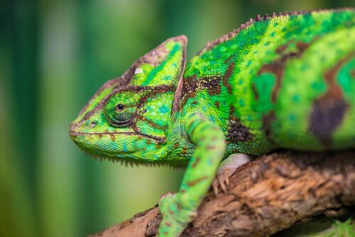Mimetismo del camaleonte: come fa a cambiare colore?