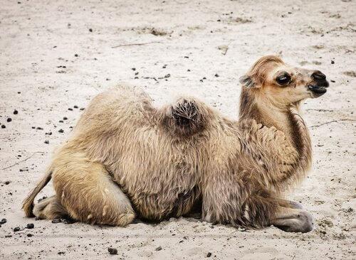 La fauna del deserto del Gobi