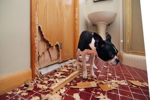 Cane accanto a una porta distrutta dai suoi morsi